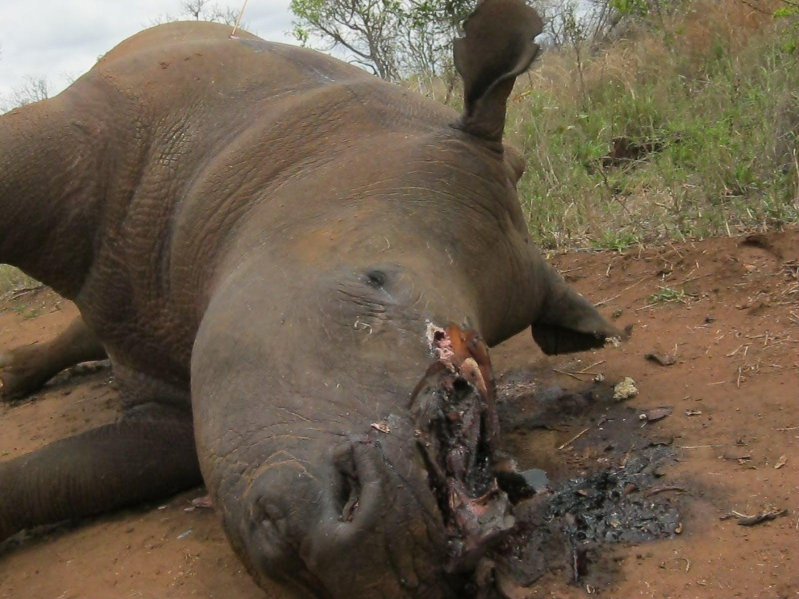 密猟によってツノを切り取られたサイ